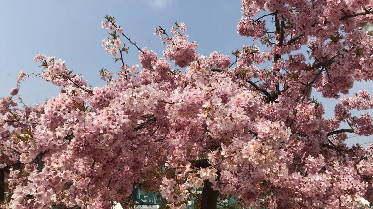 寒桜は散り始め、ソメイヨシノはもうすぐか?