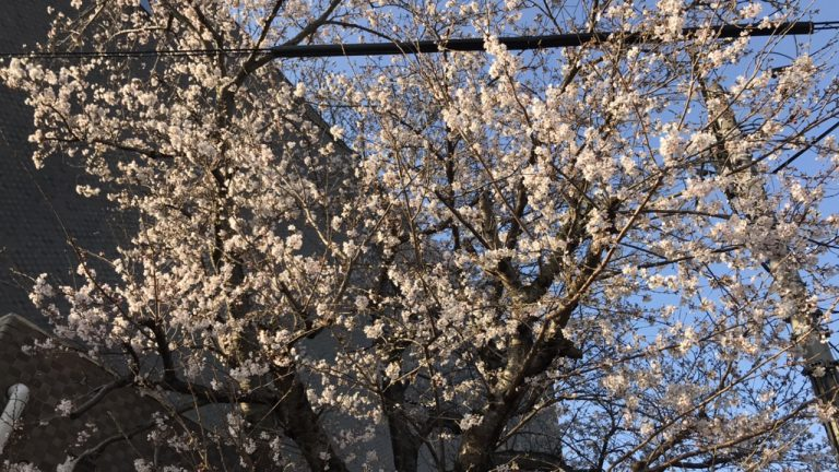 西大寺向州公園開会宣言!満開はいつ?そして週末の花見ランは?