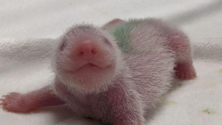 上野動物園で双子のパンダ誕生!これがコロナ終息の前兆だと思う理由